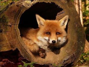 Фотография Fox38